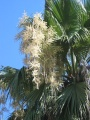 Washingtonia(4).jpg
