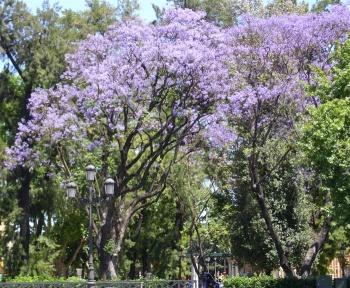 Jacaranda sevillapedia for Arboles altos para jardin